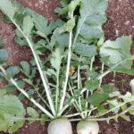【わさび大根の収穫と種】