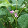 【豆の花】