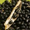 【黒大豆を収穫】