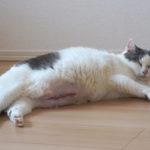 【6歳の猫の避妊手術】