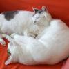 【ソファは猫のものである】